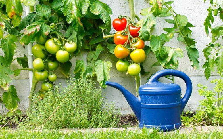 Pourquoi mes tomates ont-elles le cul noir